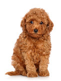 Toy Poodle puppy on a white background Royalty Free Stock Photos