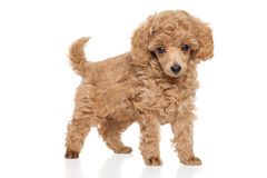 Toy Poodle puppy royalty free stock photos