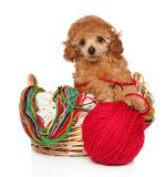 Toy Poodle puppy in wicker basket. Toy poodle puppy in a wicker basket with knitting threads. Baby animal theme stock image