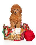 Toy Poodle puppy in a wicker basket stock photos