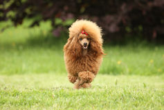 Toy Poodle-puppylooppas over de weide Royalty-vrije Stock Foto