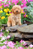 Toy Poodle-puppyzitting in bloembed royalty-vrije stock foto