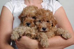 Toy Poodle Pups. Holding two apricot toy poodles royalty free stock photography