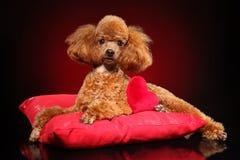Toy Poodle que encontra-se em um descanso vermelho foto de stock royalty free
