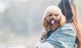 Toy Poodle que juega con su amo femenino en un parque imagen de archivo libre de regalías