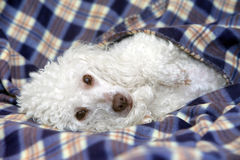 Toy poodle relaxing on a sofa Stock Images