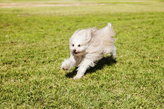 Toy Poodle Running in the Park. A Toy Poodle running happily on the grass at a park Stock Image