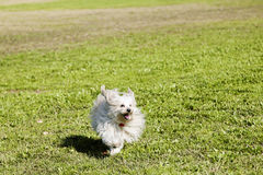 Toy Poodle Running in the Park. A Toy Poodle running happily on the grass at a park Stock Photos
