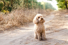 Toy poodle sitting on the road in a woods Stock Photos