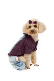 Toy poodle sitting on a white background in striped clothes. Stock Images