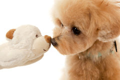 Toy poodle and soft toy Stock Image