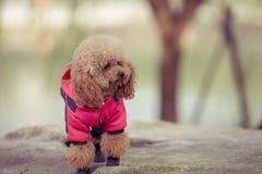 Toy Poodle som spelar i en parkera royaltyfri fotografi