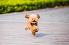 Toy Poodle som spelar i en parkera arkivfoto