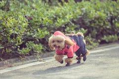 Toy Poodle som spelar i en parkera arkivbild