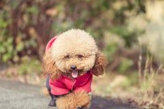 Toy Poodle som spelar i en parkera arkivbilder