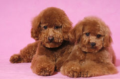 Toy Poodle teddy bear. Two lovely Toy Poodle thinking someting Stock Photo