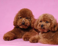 Toy Poodle teddy bear. Two lovely Toy Poodle thinking someting Stock Photography