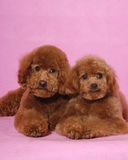 Toy Poodle teddy bear. Two lovely Toy Poodle thinking someting Royalty Free Stock Photo