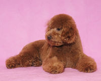 Toy Poodle&teddy bear. Lovely Toy Poodle thinking someting Royalty Free Stock Images