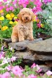 Toy Poodle valpsammanträde i blomsterrabatt Royaltyfri Foto