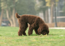 Toy poodle was looking for something Royalty Free Stock Photo