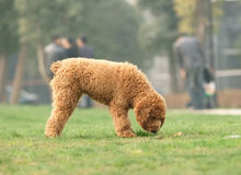 Toy poodle was looking for something Stock Image