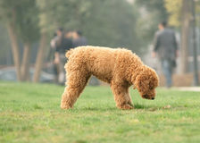 Toy poodle was looking for something Royalty Free Stock Image