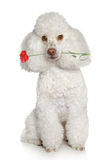 Toy poodle on a white background Royalty Free Stock Images