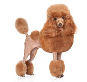 Toy Poodle on a white background Stock Photos