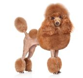 Toy-Poodle on a white background Stock Image