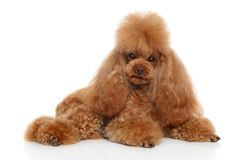 Toy poodle on a white background. Young red groomed poodle on a white background. Animal themes stock photos