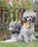 Toy poodles Stock Photos