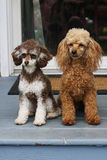 Pair of Toy Poodles Stock Images