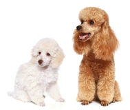 Toy and small poodle Stock Image