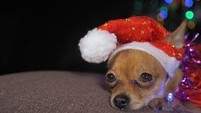 Toy Terrier är en gul hund för ` s för nytt år fotografering för bildbyråer