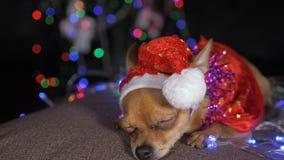 Toy Terrier è un cane giallo del ` s del nuovo anno video d archivio