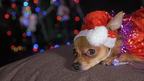 Toy Terrier é um cão amarelo do ` s do ano novo Fotos de Stock Royalty Free
