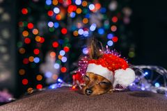 Toy Terrier é um cão amarelo do ` s do ano novo imagens de stock royalty free