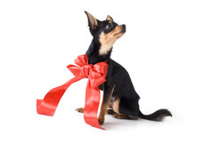 Toy-terrier Royalty Free Stock Image