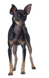 Toy Terrier Royalty Free Stock Image