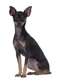 Toy Terrier Royalty Free Stock Images