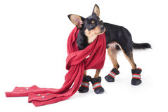 Toy-terrier Royalty Free Stock Photos