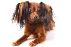 Toy terrier. Stock Image