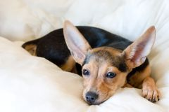 Toy-terrier. Portrait of russian toy-terrier laying on a pillow Royalty Free Stock Photo