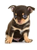 Toy terrier Stock Images