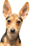 Toy terrier. Russian  toy terrier isolated on white Stock Photography