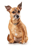 Toy terrier Royalty Free Stock Photography