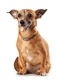 Toy terrier Stock Photos