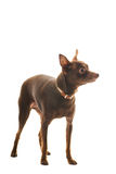 Toy terrier Stock Image