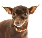 Toy terrier Stock Photos